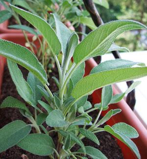 Salvia salvie